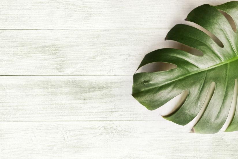 Monstera Wonna (Dziurawa) – ulubiona roślina domowa