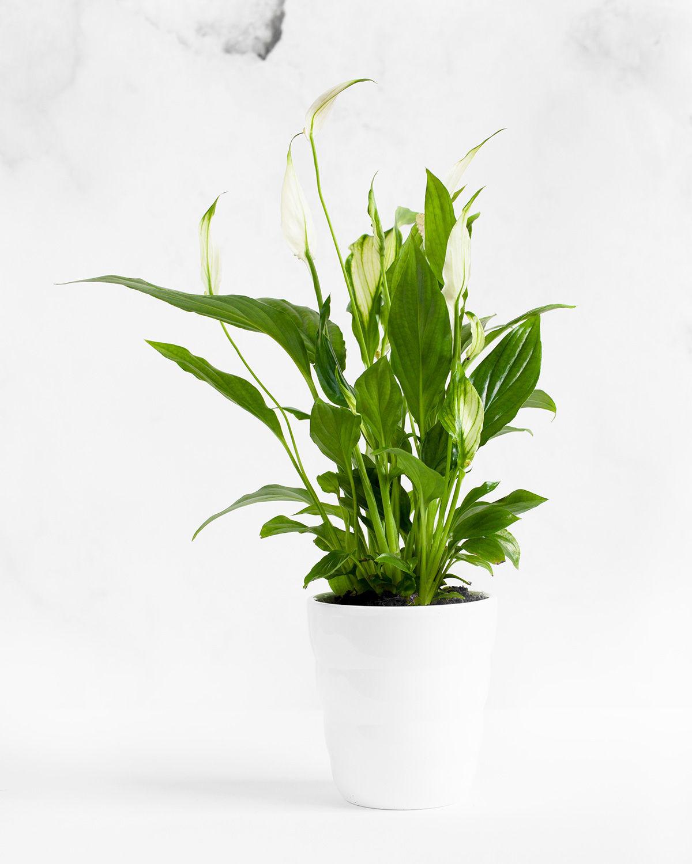 Skrzydłokwiat (Spathiphyllum) jak dbać?