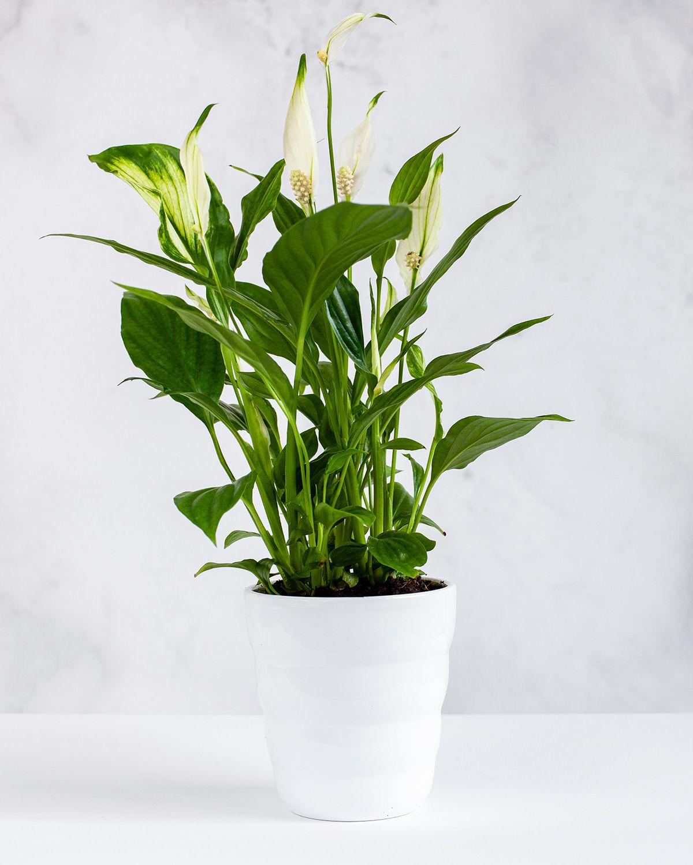 Skrzydłokwiat (Spathiphyllum) - jak podlewać?