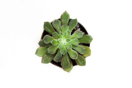 Echeveria Velvet