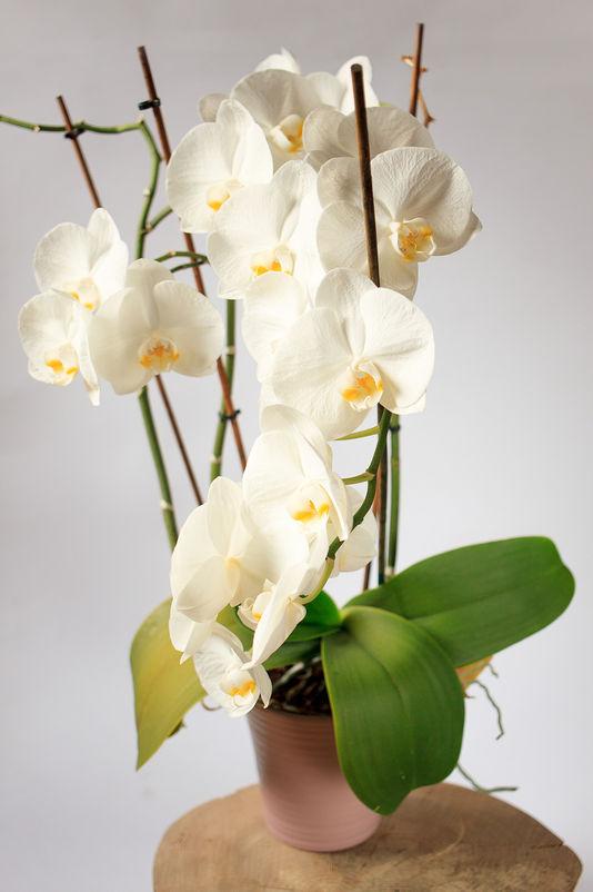 Phalenopsis Biały