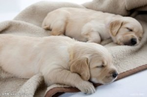 Two golden retriever puppies sleeping on a blanket
