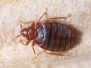 Image: bedbug on carpet