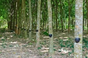 Row of trees being tapped for latex in a planatation