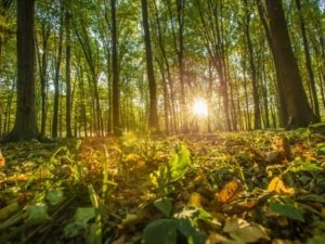Image: setting sun shines through the forest