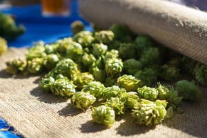 the hop flowers are called hops