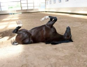 Image: a horse is lying on its back. It's as weird-looking as you think
