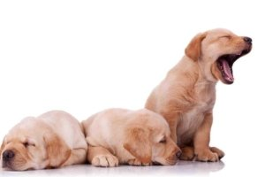 Image: three golden retriever puppies. The two on the left are asleep, while the one on the right has its mouth open in a gigantic yawn