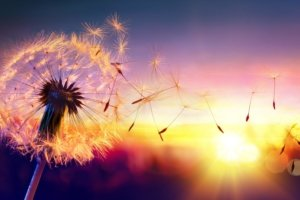 Image: Sunset. Dandelion seeds dance in the wind.