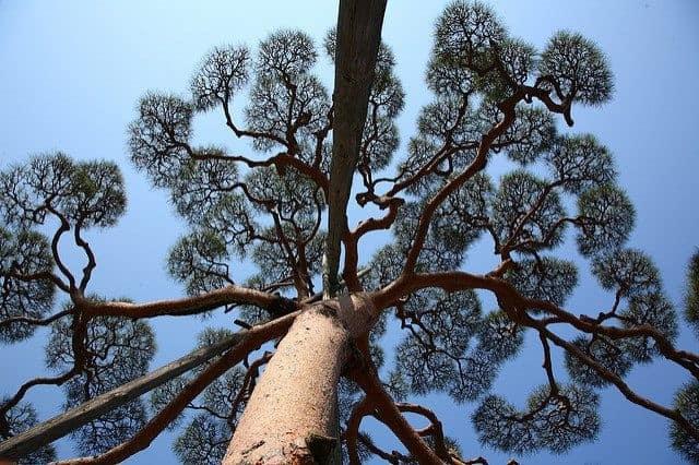 Japanese Pine Tree, Sole Survivor of the Tsunami