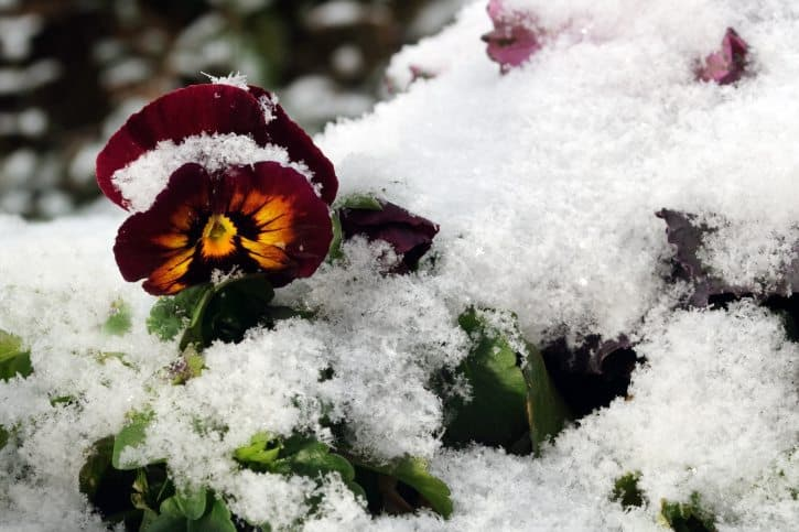 flowers, winter flowers, pansy