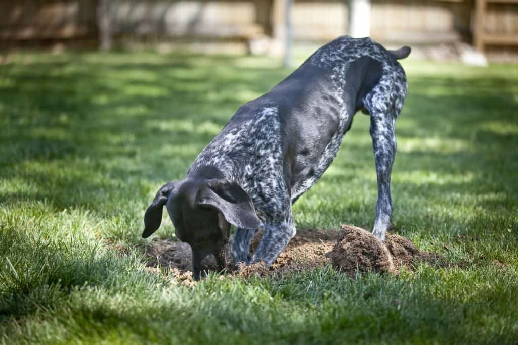 how to keep dogs from digging