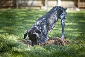 Keep Dogs From Digging Up Your Yard