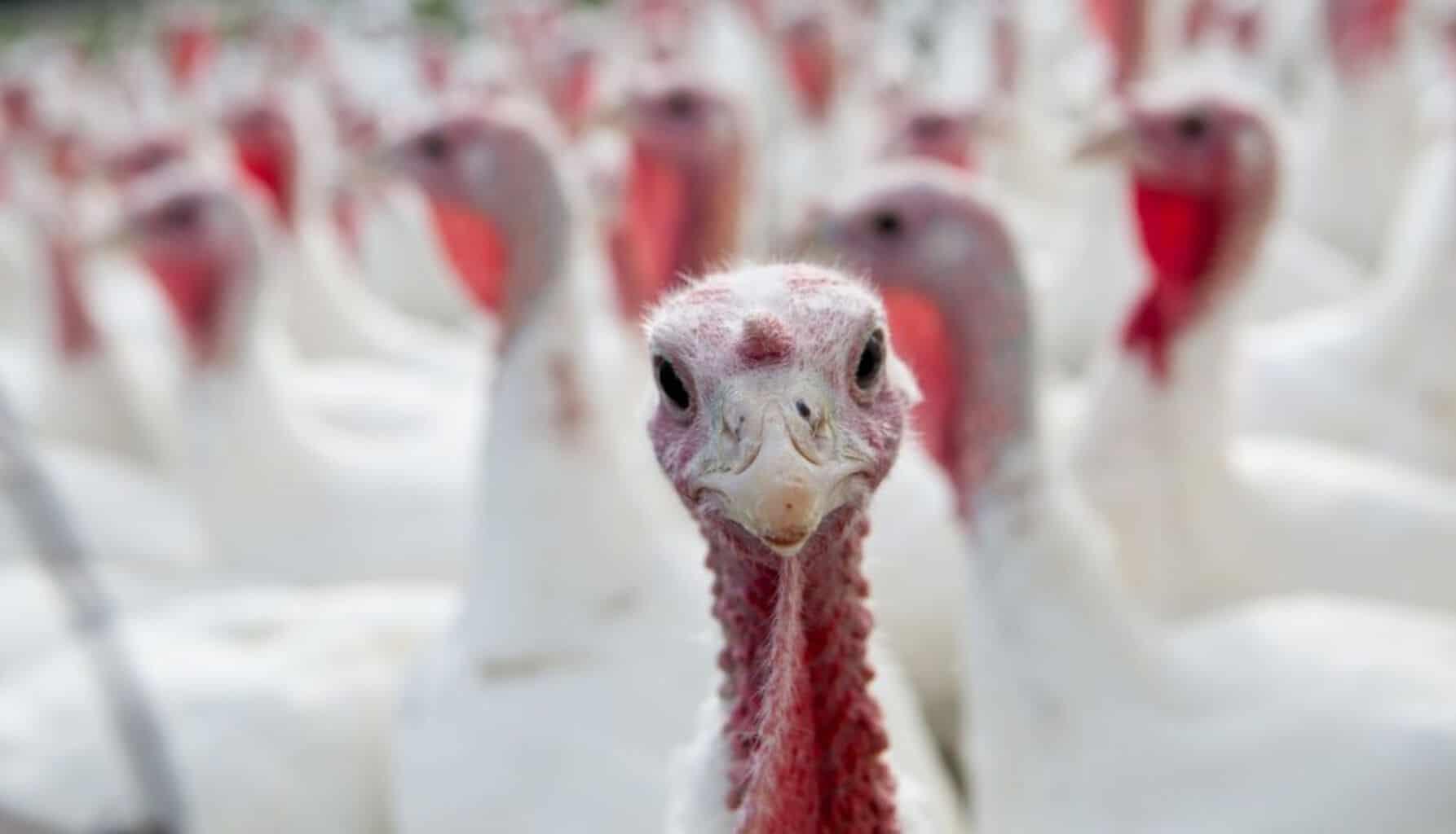 pardon a turkey, thanksgiving, presidential turkeys