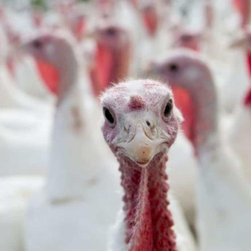 Pardon a Turkey this Year