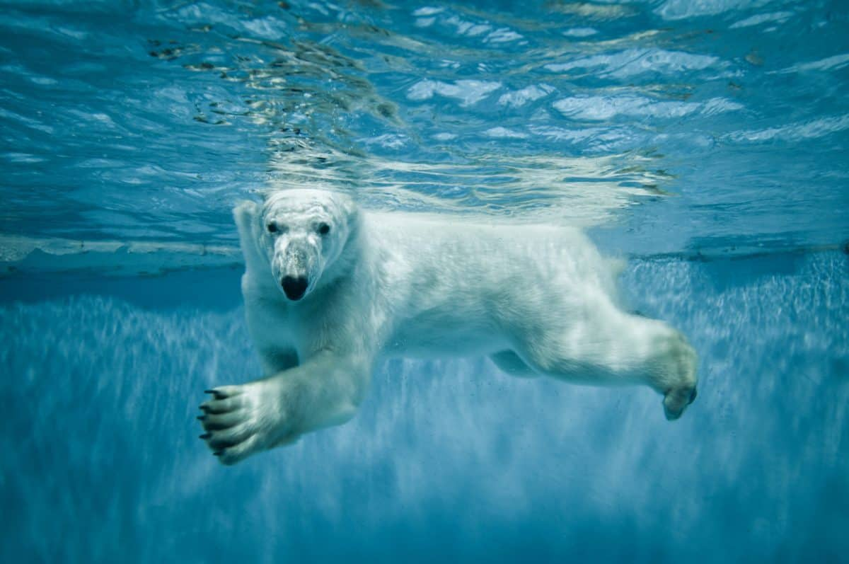 protect polar bears, endangered polar bears, world wildlife fund, endangered species