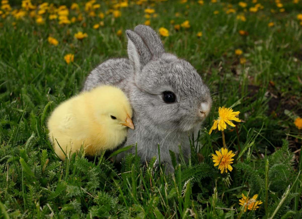 Say No to Easter Pets - Mindful Living Network