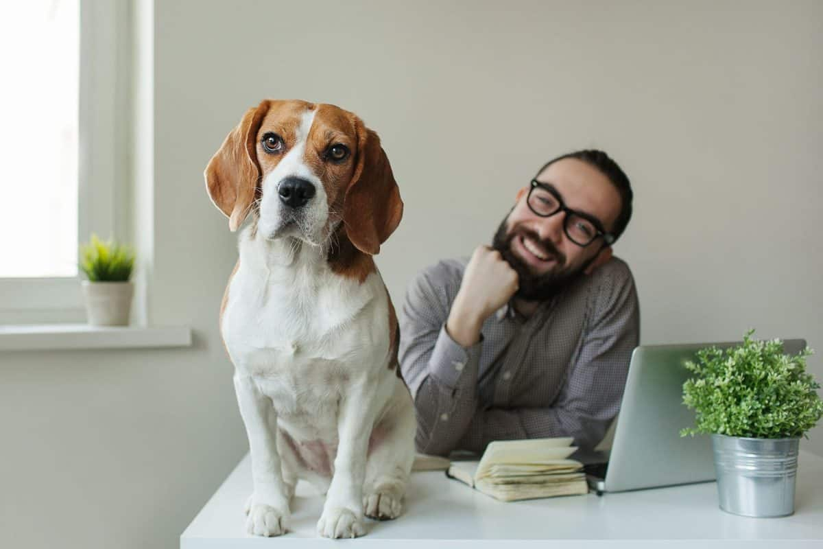 Smilling man with beard in glasses with beagle on the table