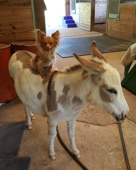 chihuahua, donkey, unusual friendship, animal friendship