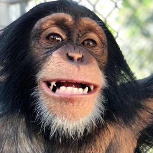 Chimp Reunites With Foster Parents and Goes Bananas!