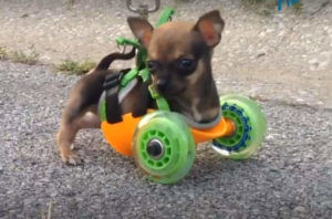 Tiny Puppy Loves Racing On Wheels