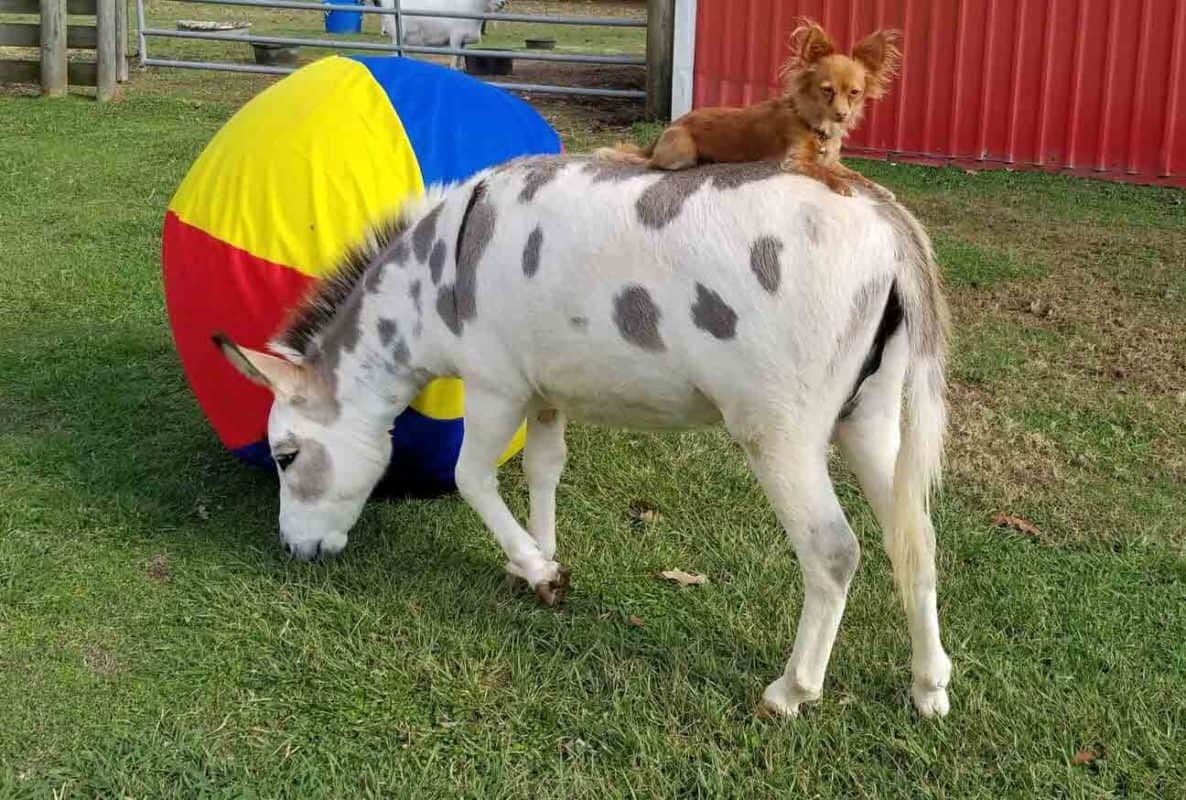 Rescued Chihuahua and Donkey Become Best Friends