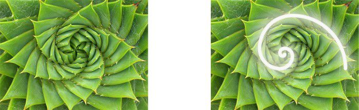 The Fibonacci Sequence as seen in an aloe plant