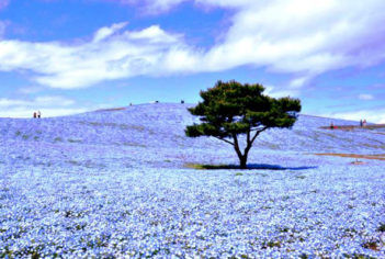 470 always blooming blue flowers in Hitachi Seaside Park in Ibaraki, Japan