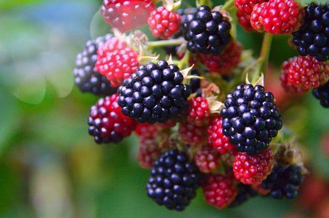 National Blackberry Month