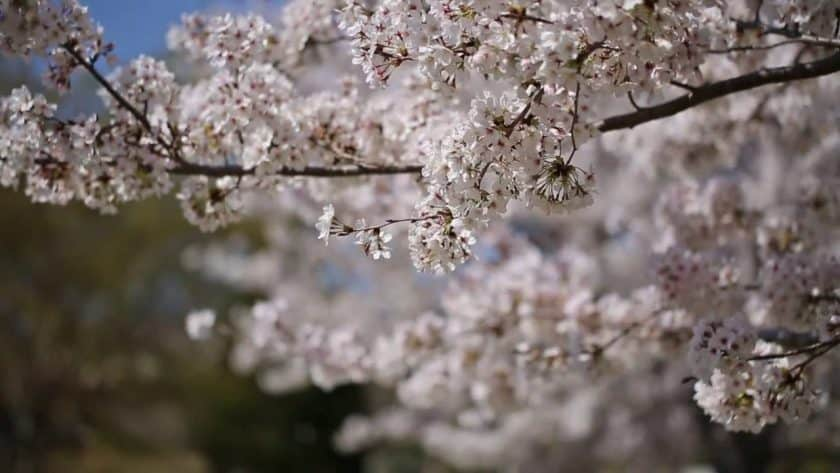 Cherry Blossom Meditation