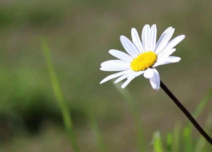 Daisy Nature Meditation