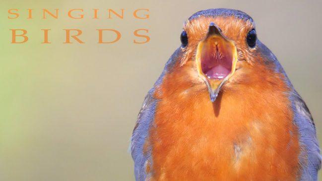 Birds Singing in Spring