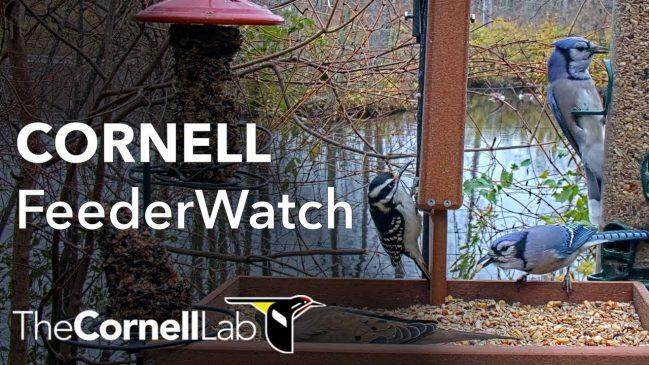 Live Birds: FeederWatch Cam at Sapsucker Woods at Cornell