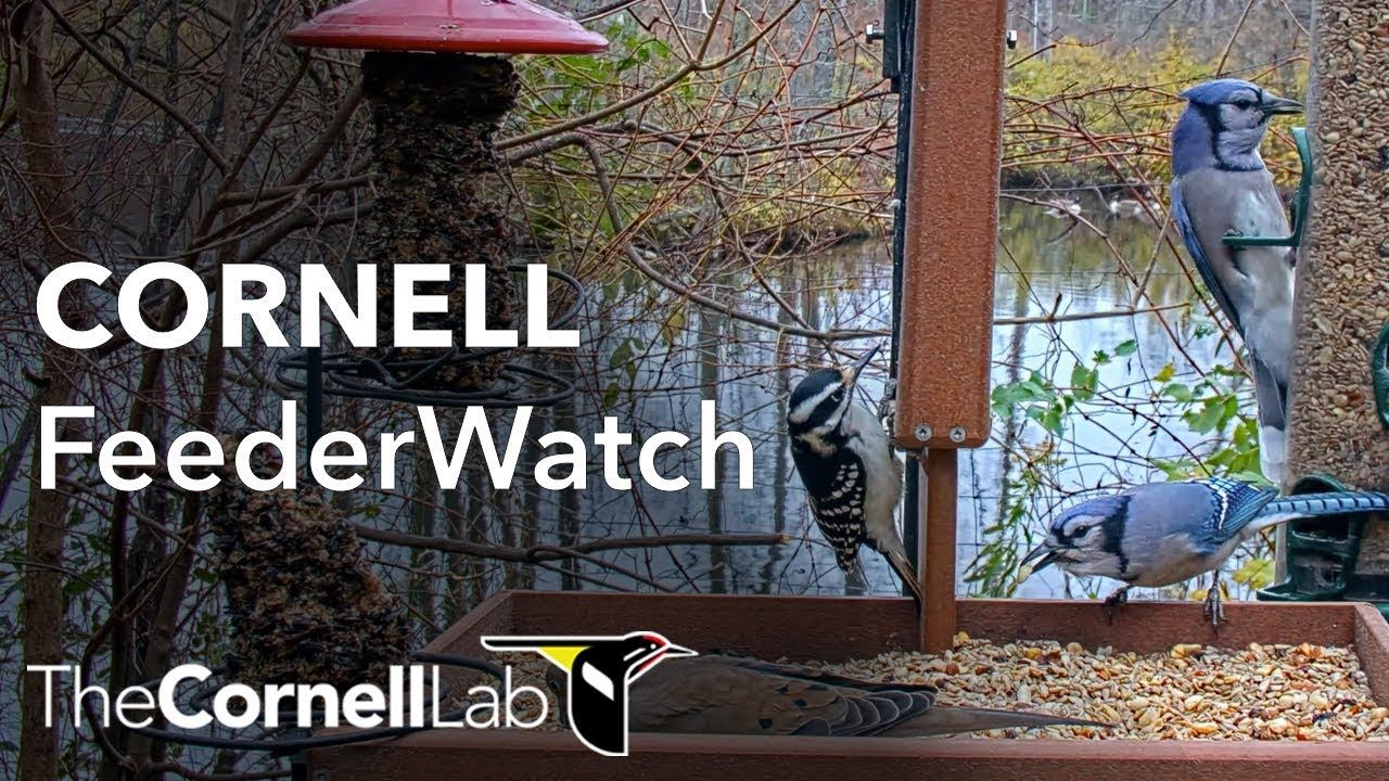 Cornell Bird Web Cam Highlights: Diverse Visitors Flock To Wintery Cornell Feeders