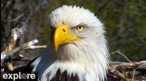 Amazing Live View of Bald Eagle Nest – Explore.org LIVECAM