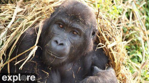 Gorilla Forest Corridor Cam – Explore.org LIVECAM