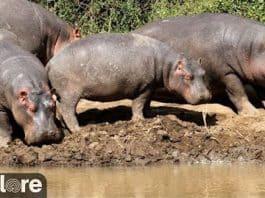 African Safari Live Hippo Pool Cam - Explore.org LIVECAM