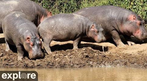 African Safari Live Hippo Pool Cam – Explore.org LIVECAM