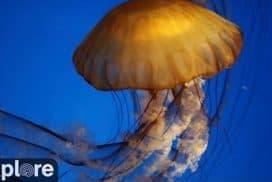 Live Jellyfish Tank Cam - Explore.org LIVECAM