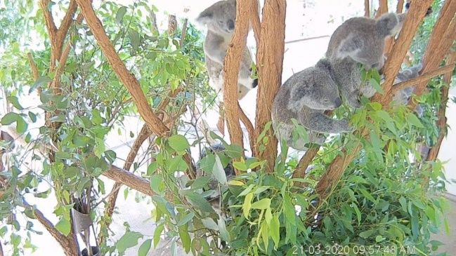 Live Koala Close Up