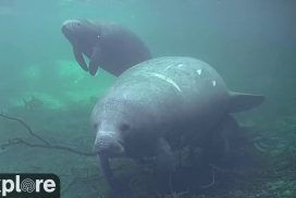 Blue Spring Park Above-Water Manatee Cam