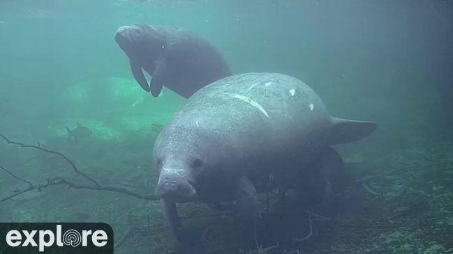 Underwater Manatees Live – Explore.org LIVECAM