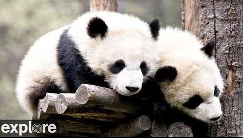 Panda Cam – Explore.org LIVECAM