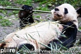 Baby Panda Garden Cam in Happiness Village - Explore.org LIVECAM