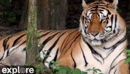 Big Cat Rescue's Tiger Lake – Explore.org LIVECAM
