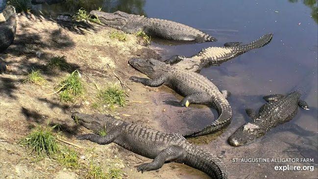 Live Alligator Swamp in Florida – Explore.org LIVECAM