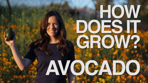 How Do Avocados Grow?