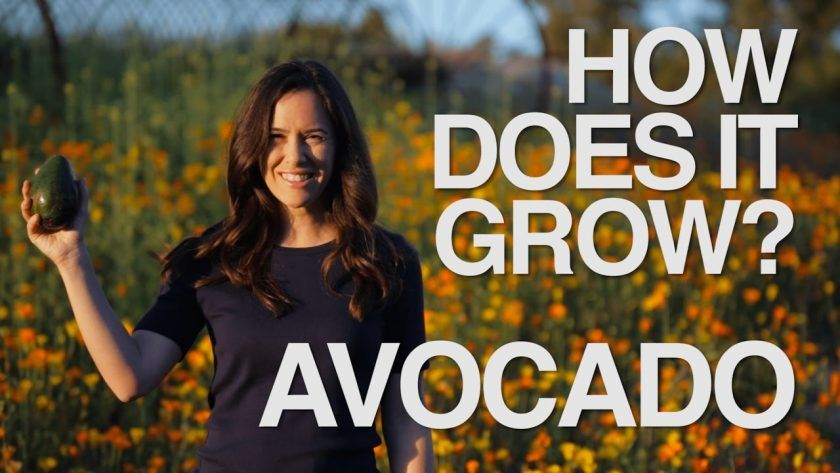 How Do Avocados Grow?
