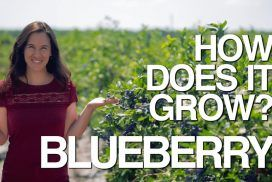 Blueberries have been growing in North America for thousands of years - they're a native crop! But until recently, if you wanted to eat them, you had to find them in the wild. We uncover the amazing story of how the blueberry was tamed.