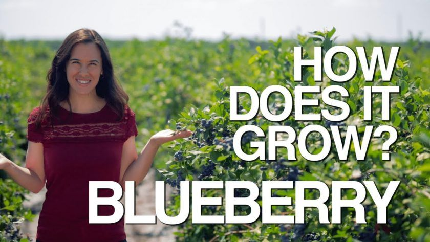 Learn How Blueberries Grow